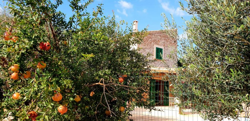 Mallorca finca Granatapfelbaum